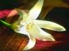 Lys du jardin